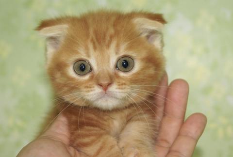 可愛すぎる!猫マンチカンの可愛い写真